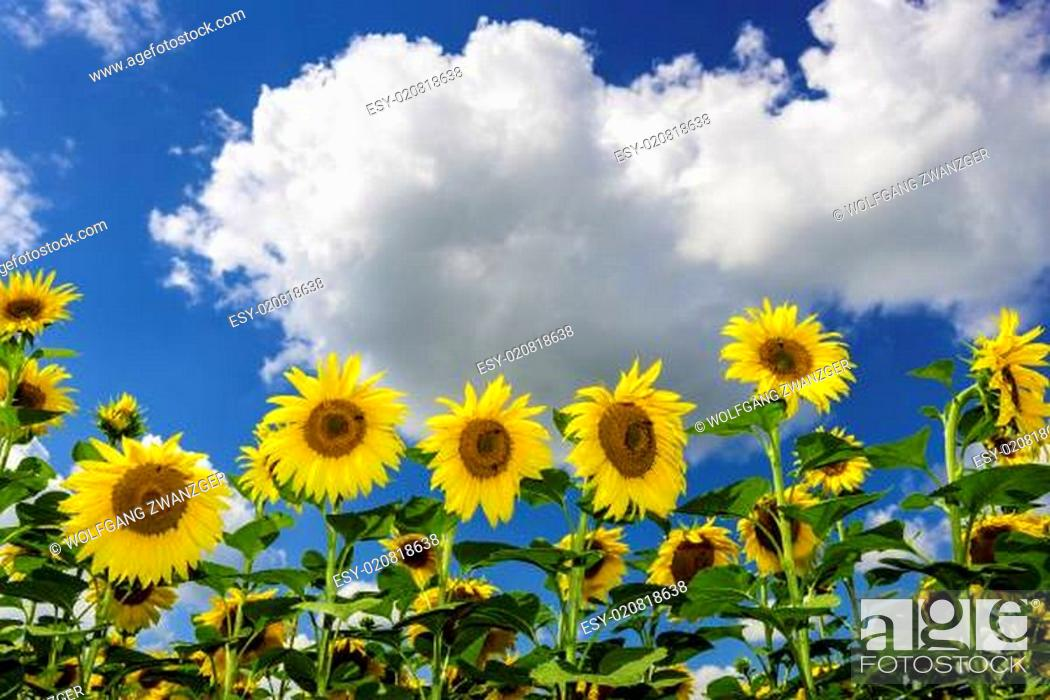 Stock Photo: Field of sunflowers in summer.