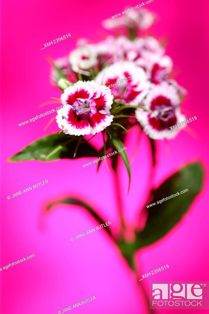Pink and white sweet william stem on pink language of flowers stock photo pink and white sweet william stem on pink language of flowers mightylinksfo