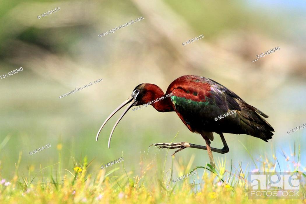 Stock Photo: Glossy Ibis (Plegadis falcinellus). Lake Kerkini, Greece.