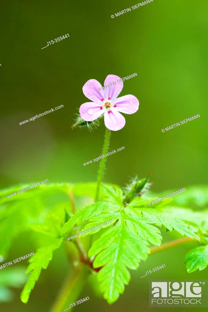 Stock Photo: Wood Cranesbill (Geranium sylvaticum). Bavaria, Germany.