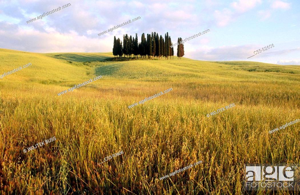 Stock Photo: Cypress. Near San Quirico d'Orcia. Tuscany. Italy.