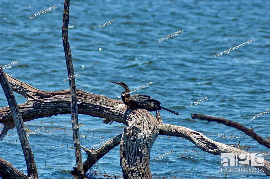 Stock Photo: African Darter or Snakebird (Anhinga rufa) in Pilanesberg National Park, South Africa.