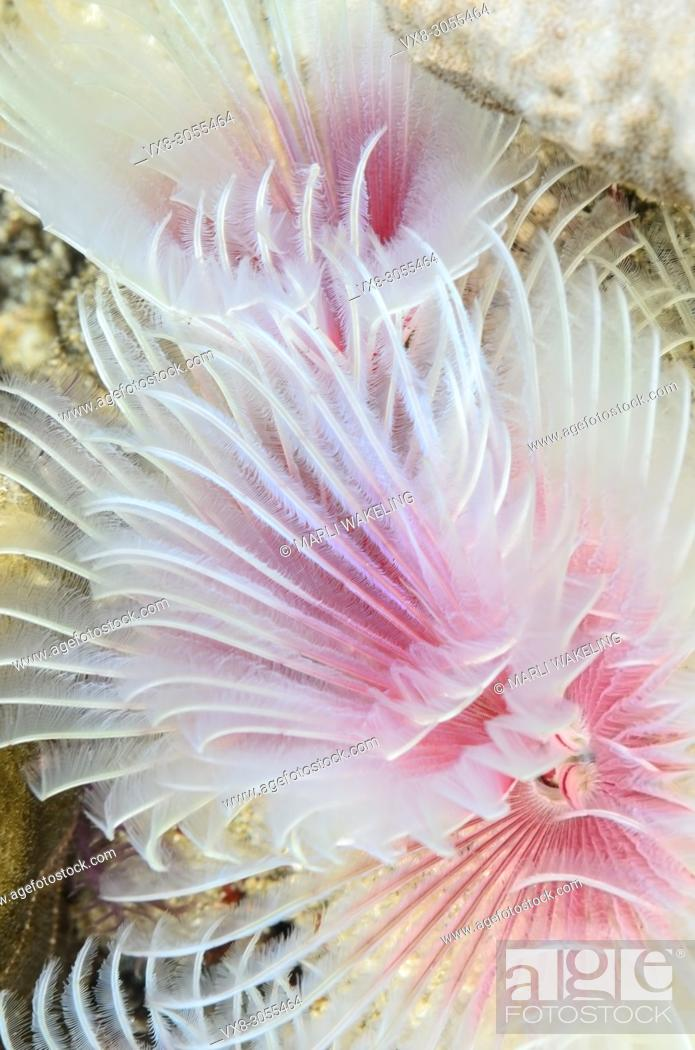 Stock Photo: Magnificent Tube Worm, Protula magnifica, Anilao, Batangas, Philippines, Pacific.