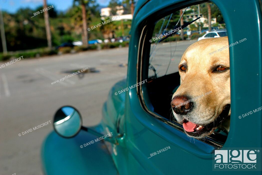 Stock Photo: a dog sat in the front seat of an American trusk, santa Barbara, california, USA.