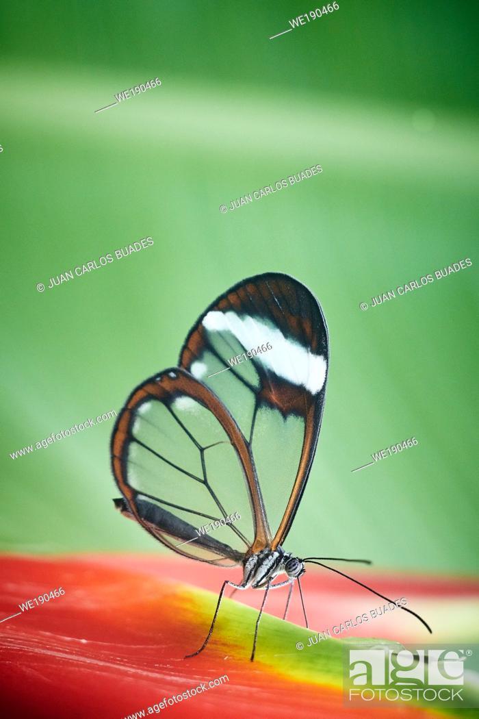 Stock Photo: Glasswing butterfly (Greta Oto).