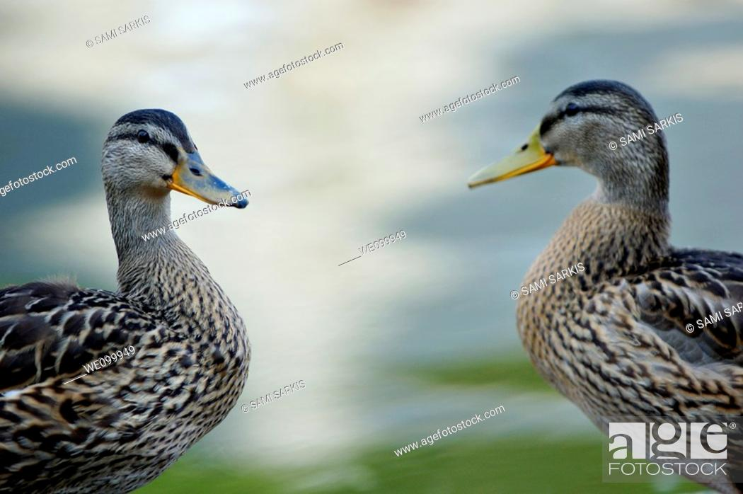 Stock Photo: Portrait of two ducks on a riverbank.