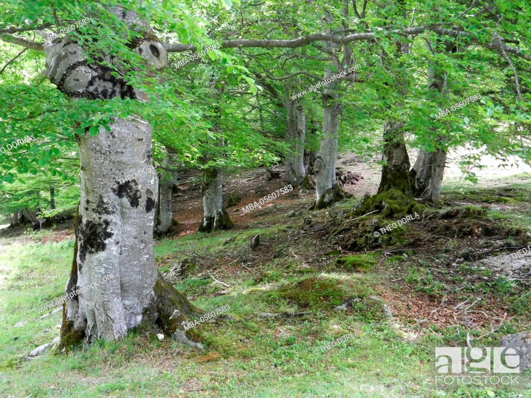 Stock Photo: beenches at the Kranzberg at Mittenwald, Buchenwald, forest floor.