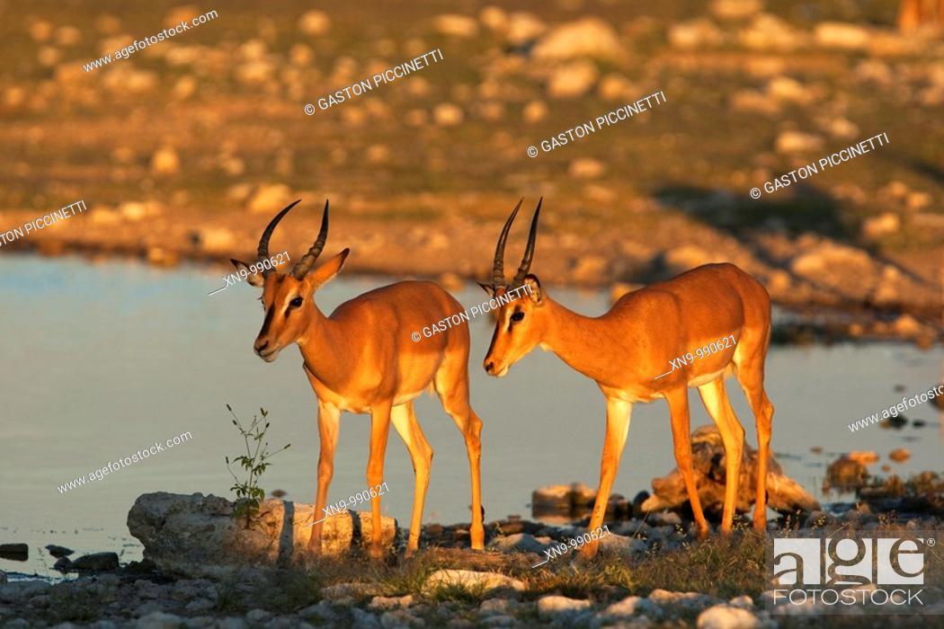 Imagen: Black-faced impalas Aepyceros melampus , Etosha National Park, Namibia.
