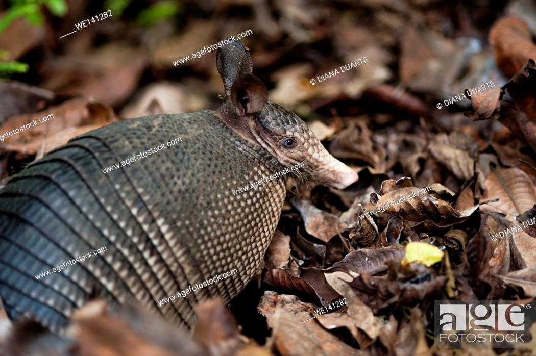 "Stock Photo: """"""""""Nine-banded armadillo"""" (Dasypus novemcinctus), Armadillos live in different temperate and warm habitats, including rain forests, cloud forest, grasslands."
