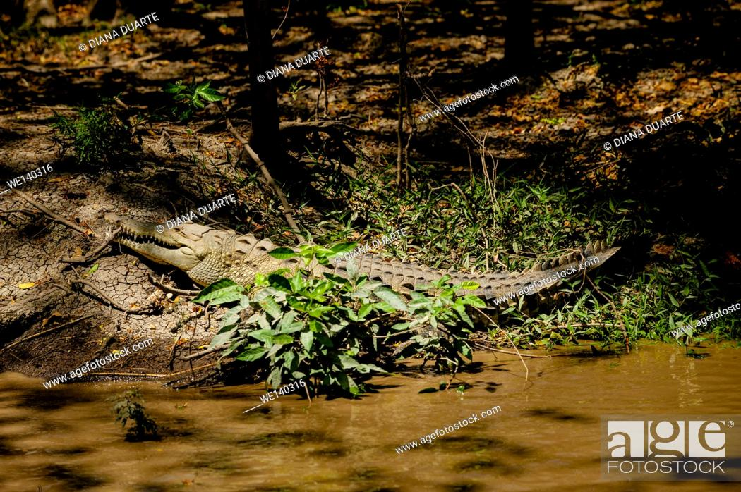 Stock Photo: 'American crocodile (Crocodylus acutus)'. The American crocodile can be seen throughout the lowlands of Costa Rica, gliding along rivers or sunning on muddy.