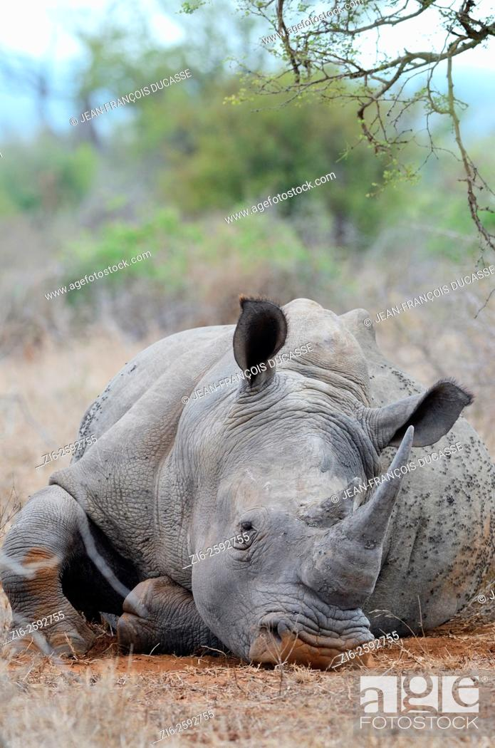 Stock Photo: White rhinoceros or Square-lipped rhinoceros (Ceratotherium simum), lying down, asleep, covered with flies, Kruger National Park, South Africa, Africa.