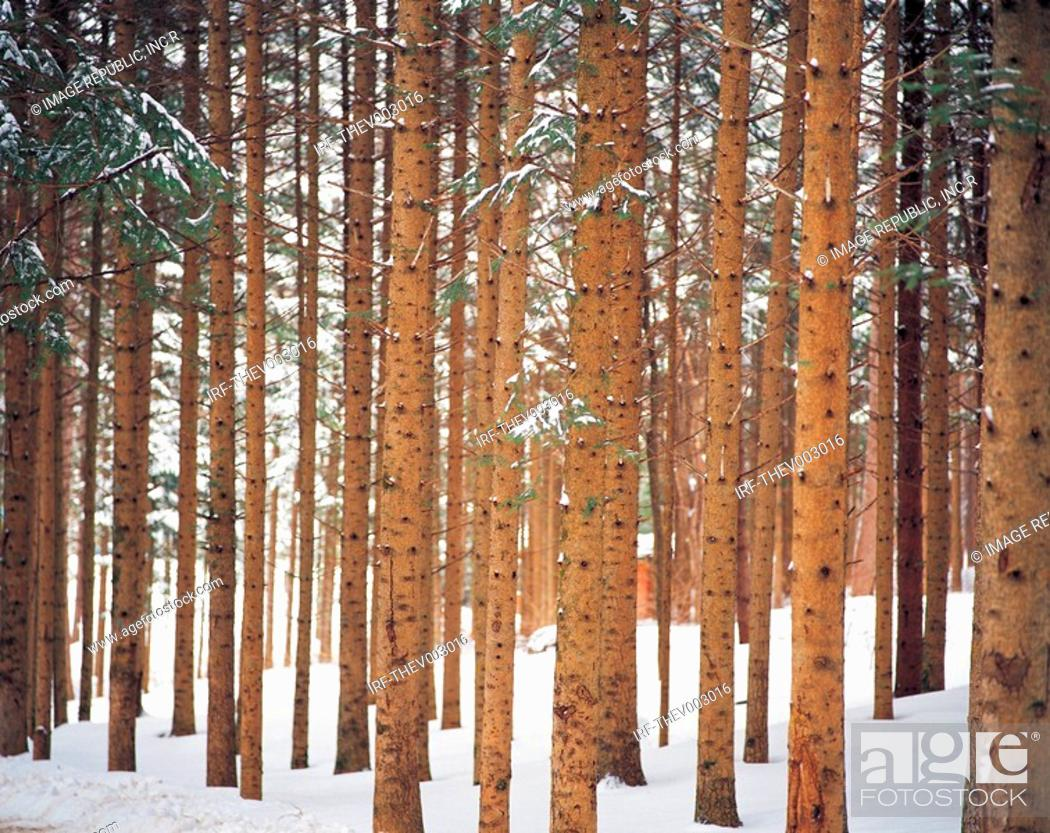 Stock Photo: trees and snow.