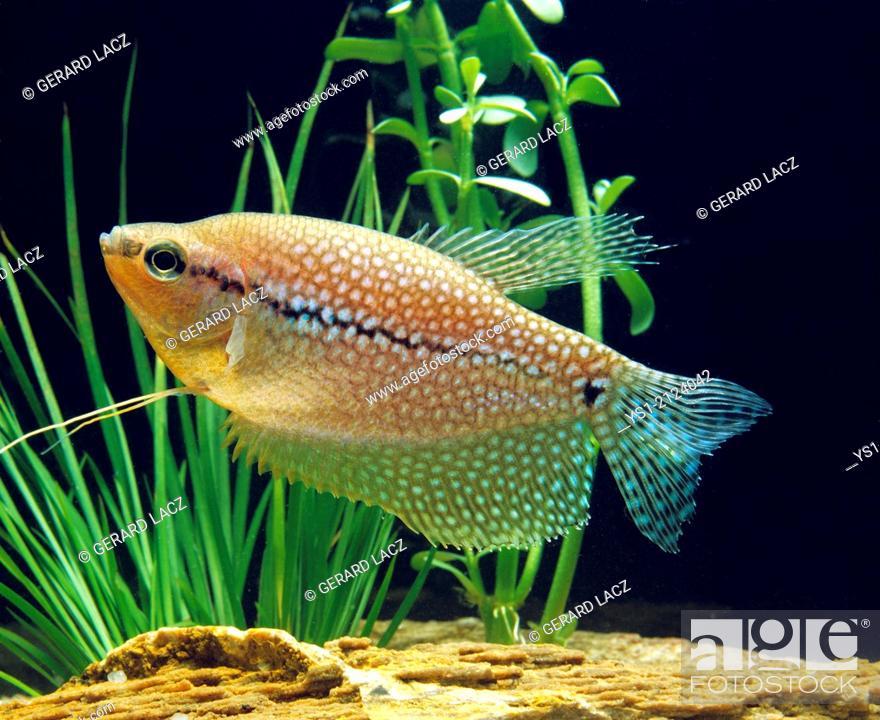 Stock Photo: Pearl Gourami, trichogaster leeri.