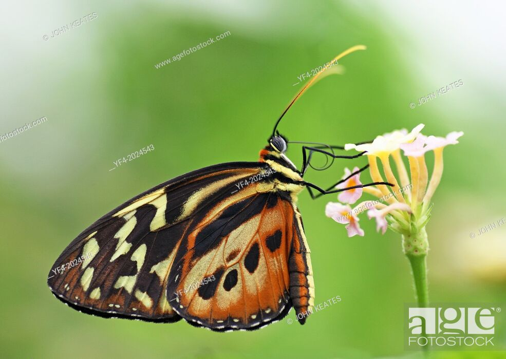 Stock Photo: A close up shot of a Longwing butterfly (Heliconius).