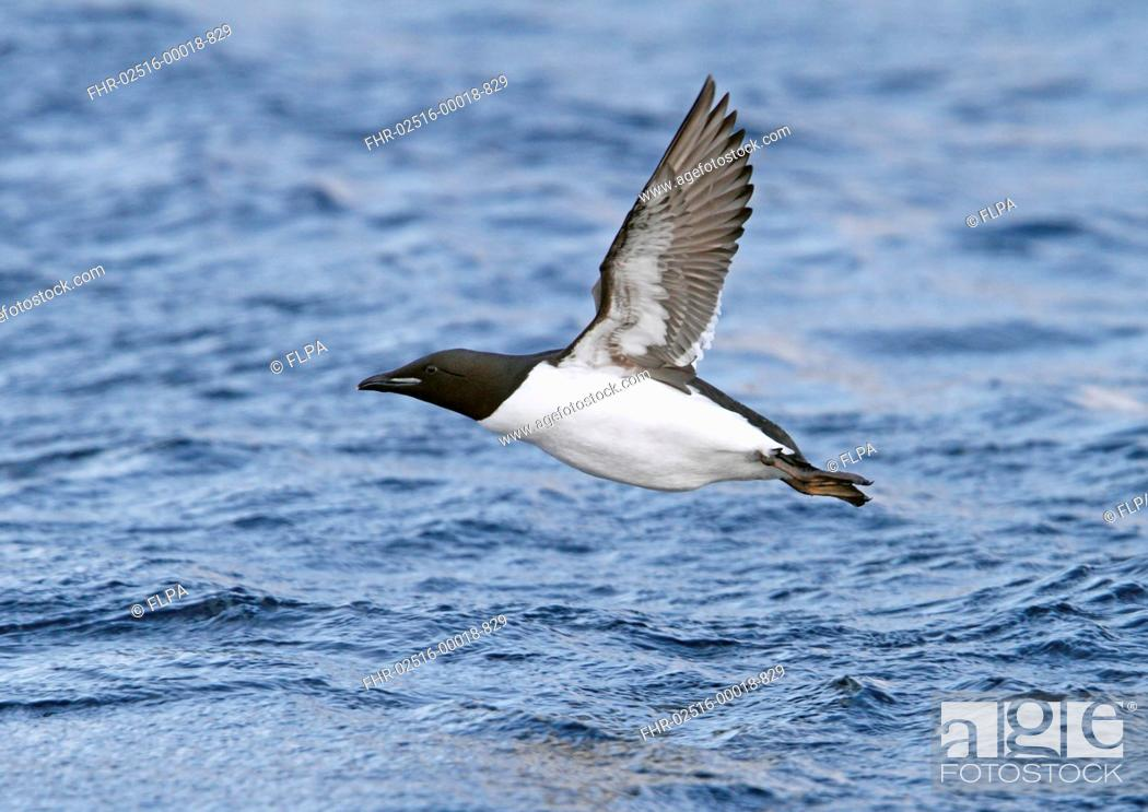 Stock Photo: Brunnich's Guillemot Uria lomvia adult, breeding plumage, in flight over sea, Northern Norway, march.