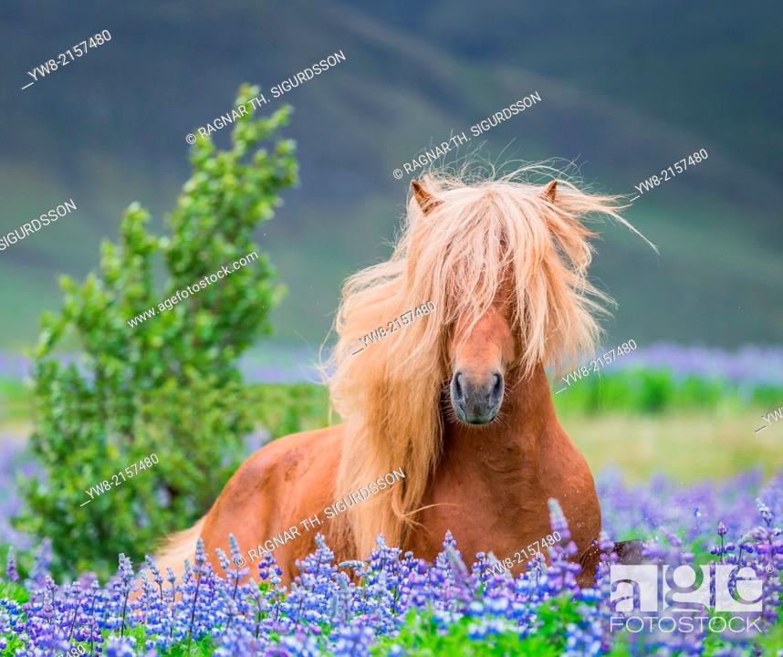 Photo de stock: Horse running by lupines. Purebred Icelandic horse in the summertime with blooming lupines, Iceland.