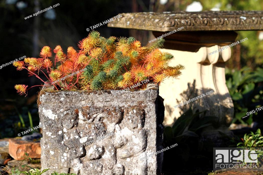 Stock Photo: EUPHORBIA CYPARISSIAS 'FENS RUBY'.