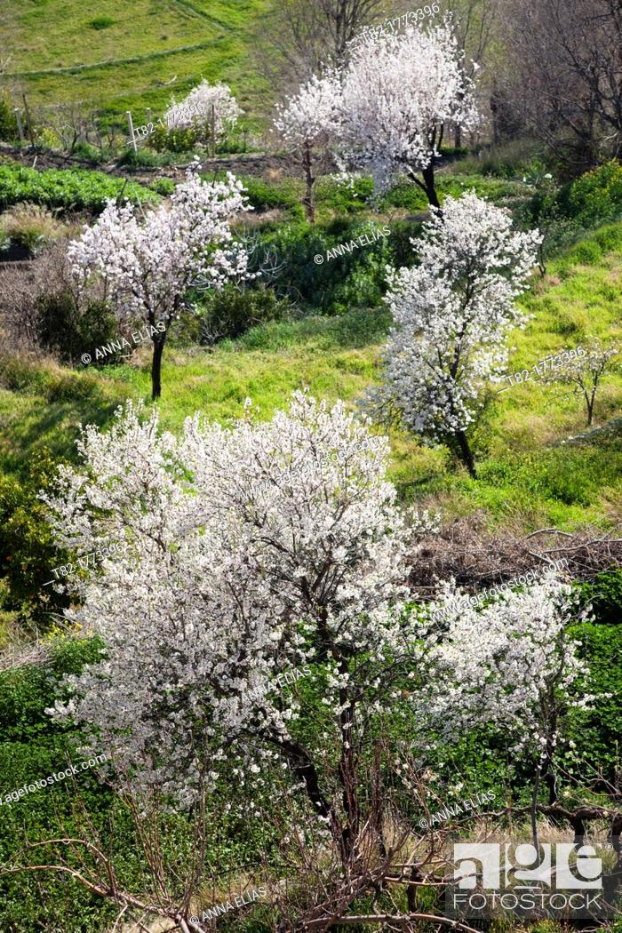 Stock Photo: five almond flower on a green grass field, Almeria, Andalucia, Spain, Europe.