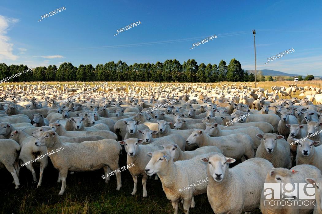 Stock Photo: Sheep, Ovis aries, in a farm field, South Island, New Zealand.