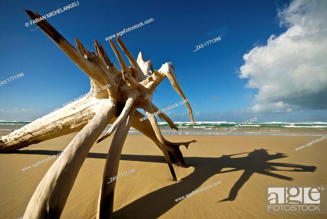 Imagen: Driftwood monster  Seventy Five Mile Beach  Fraser Island, Great Sandy National Park, Queensland, Australia.