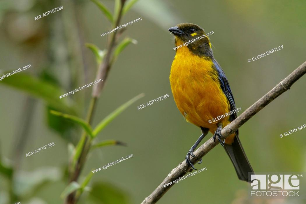 Imagen: Lacrimrse Mountain-Tanager (Anisognathus lacrymosus) perched on a branch in the mountains of Colombia, South America.
