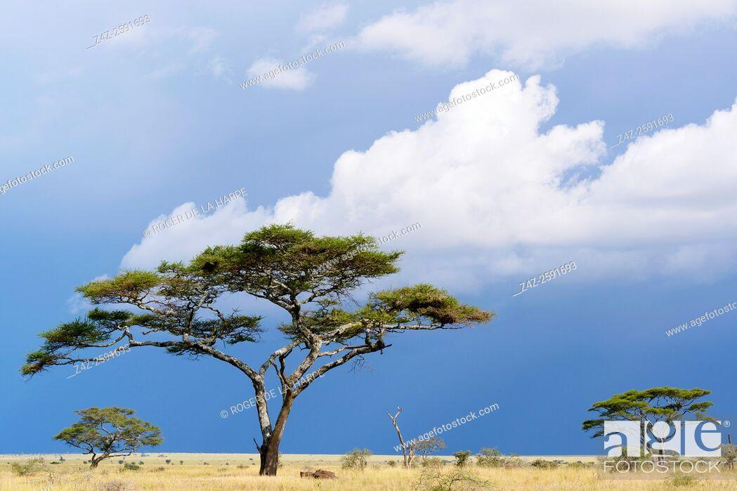 Imagen: Umbrella thorn acacia, also known as umbrella thorn and Israeli babool (Vachellia tortilis, prev Acacia tortilis). Serengeti National Park. Tanzania.