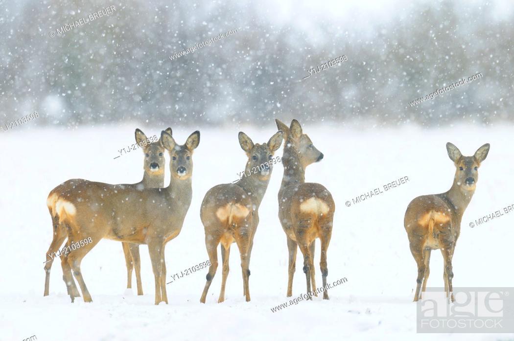 Stock Photo: Roe deers in winter, Capreolus capreolus, Hesse, Germany, Europe.
