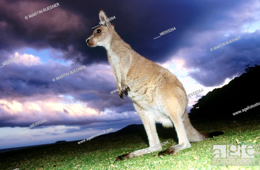 Stock Photo: Eastern Grey Kangaroo (Macropus giganteus), Murramarang National Park. Victoria, Australia.