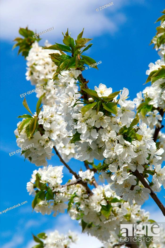 Stock Photo: Blooming cherry tree on blue sky background.