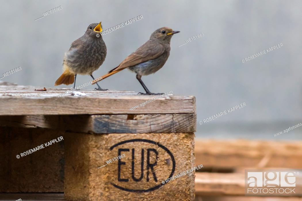 Stock Photo: germany, saarland, homburg - A black redtail is searching for fodder.