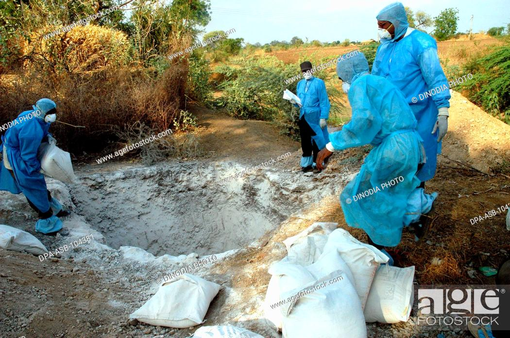 Stock Photo: Health workers fill the pit with lime powder to bury infected chickens collected in the backyard of the houses as Bird Flu is detected at Hingona village in.