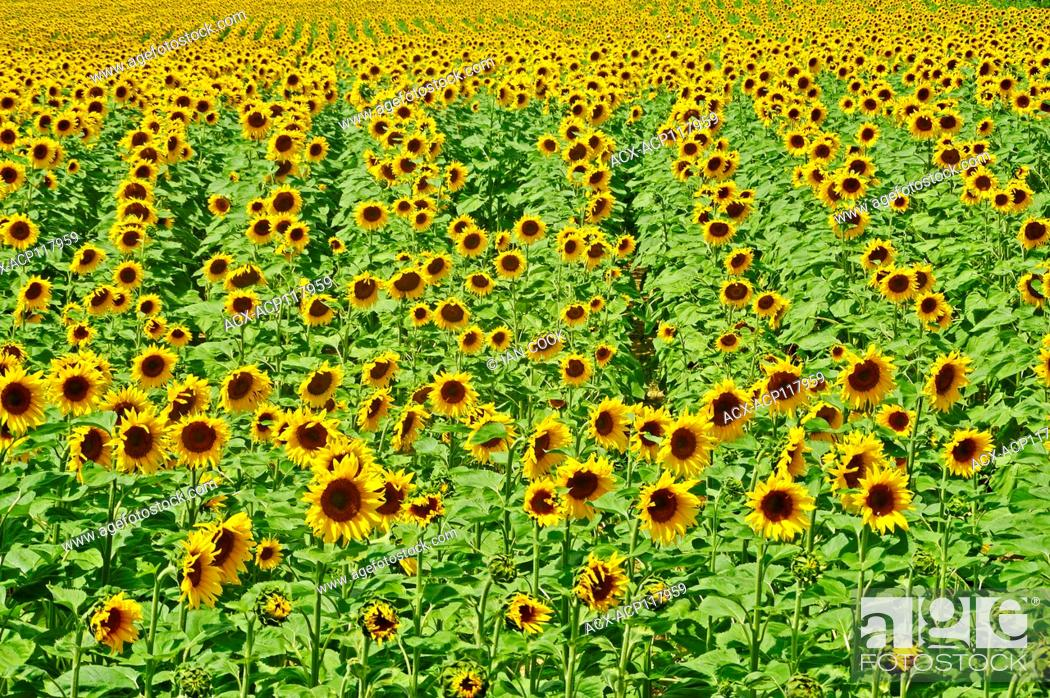 Stock Photo: sunflower field, Lot-et-Garonne Department, Aquitaine, France.