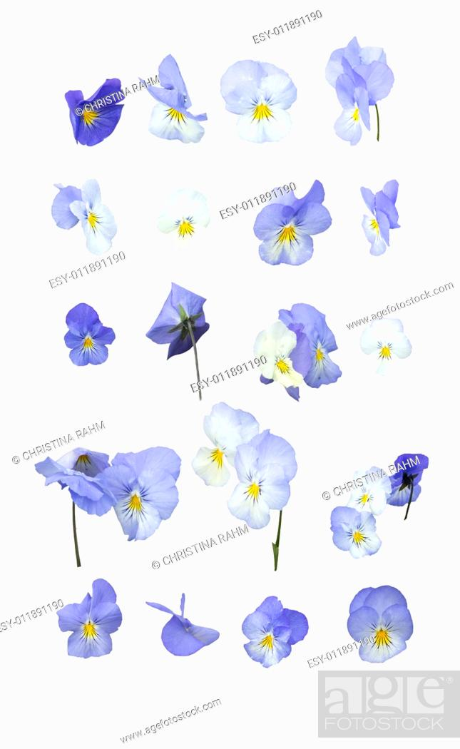 Stock Photo: Blue pansy flowers design element arranged in rows isolated on white.