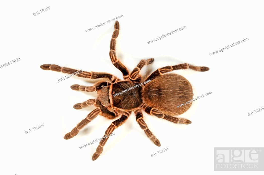 Stock Photo: Bird spider (Acanthoscurria cordubensis), cut-out.