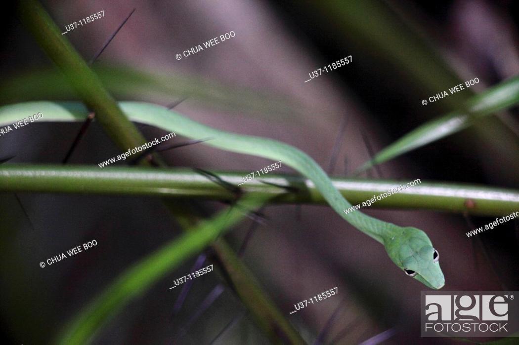 Stock Photo: Malayan or Big-eye Green Whip Snake.