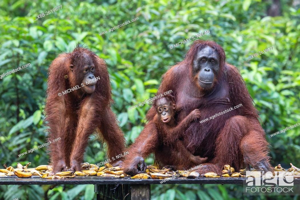 Stock Photo: Reintroduced mother, child, and infant orangutan, Pongo pygmaeus, Camp Leakey, Tanjung Puting National Park, Borneo, Indonesia.