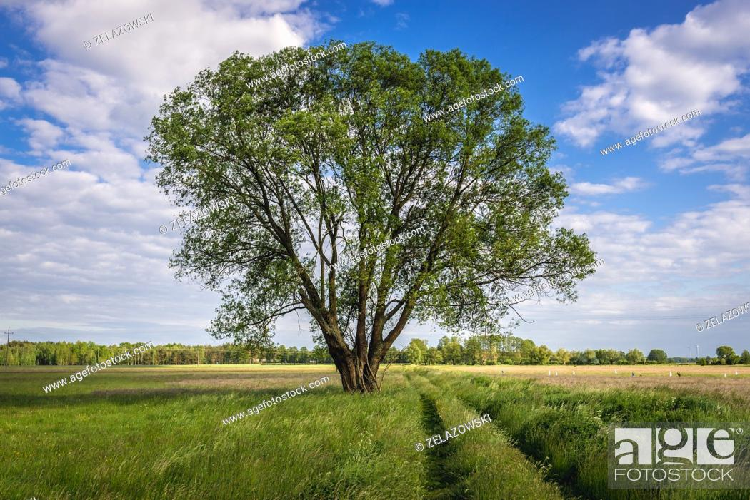 Stock Photo: Single tree on a meadow in Wegrow County, Mazovian Voivodeship in east central Poland.