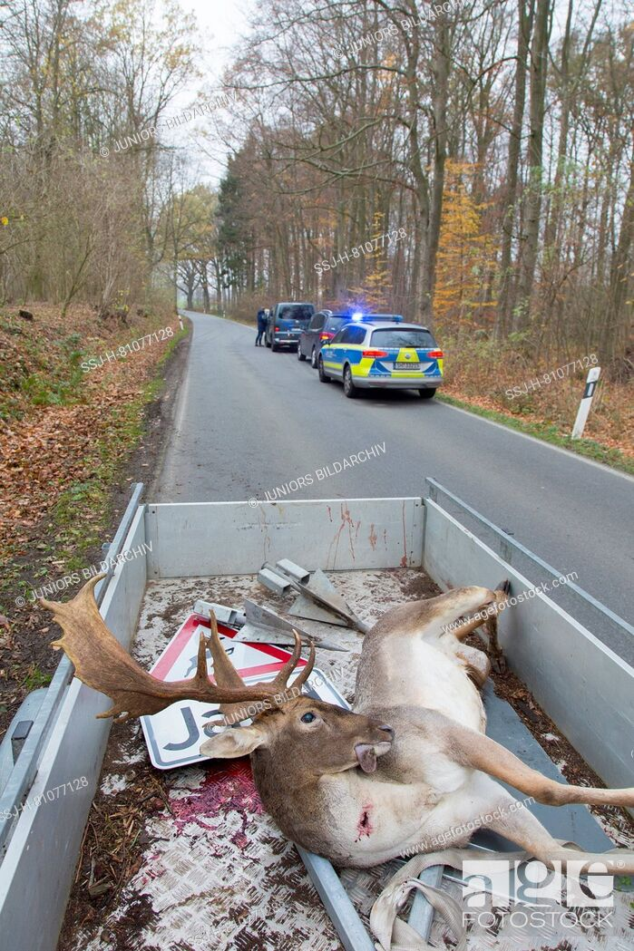 Stock Photo: Fallow Deer (Dama dama). Roadkilled stag, Schleswig-Holstein, Germany.