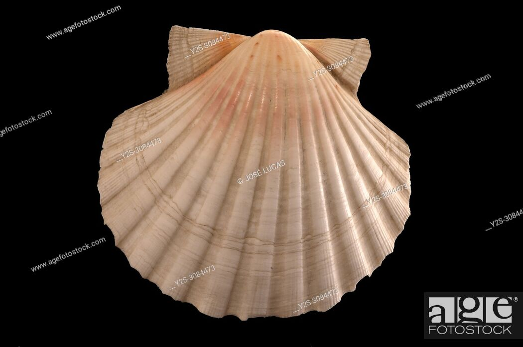 Stock Photo: Seashell of Pecten jacobaeus. Malacology collection. Spain. Europe.