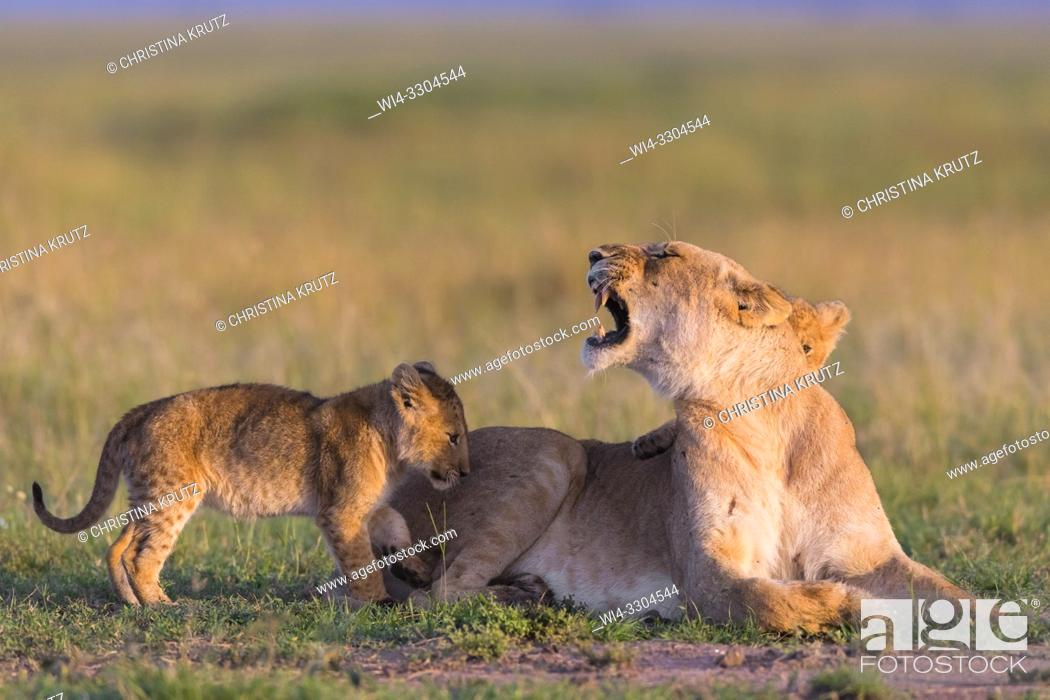 Stock Photo: African Lion (Panthera leo), female with cubs, Masai Mara National Reserve, Kenya, East Africa.