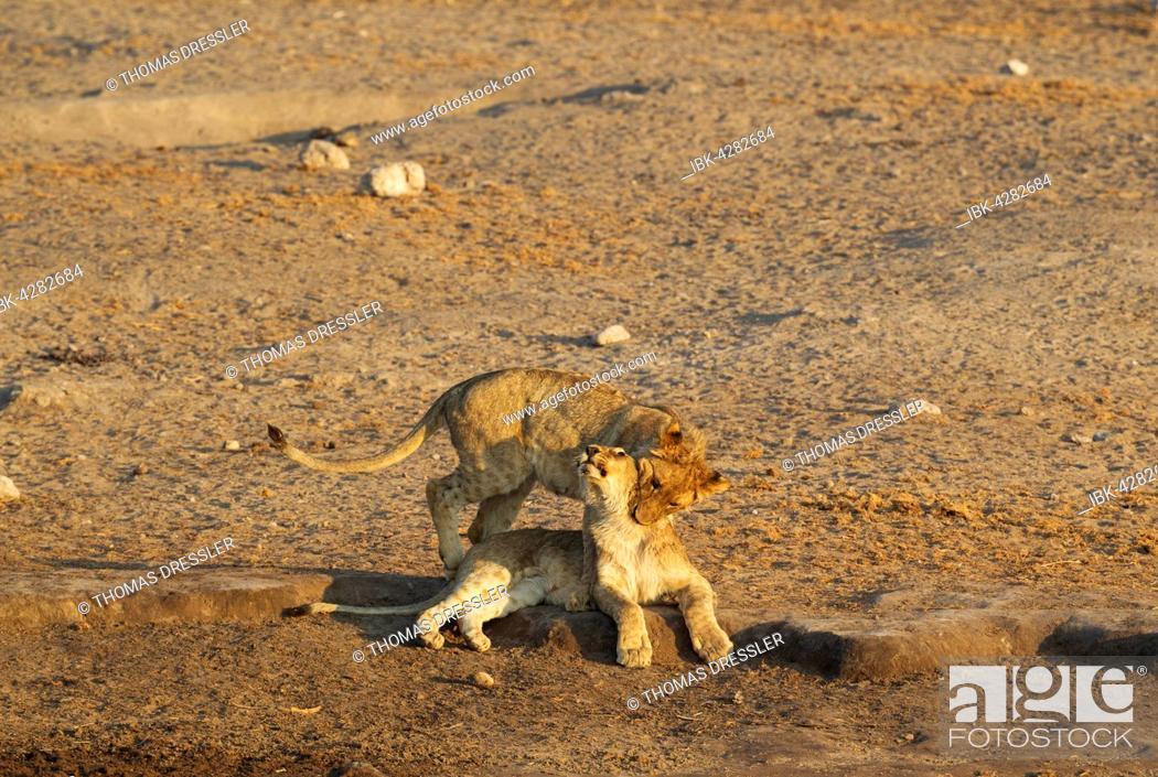 Stock Photo: Lions (Panthera leo), two playful cubs near waterhole, Etosha National Park, Namibia.