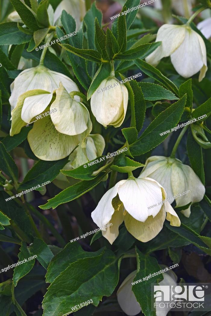 Stock Photo: Lenten rose (Helleborus x hybridus).