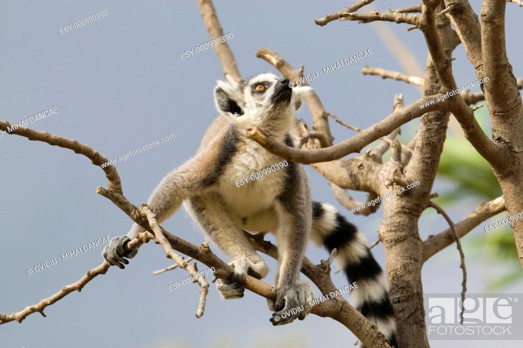 Stock Photo: Ring-tailed Lemur.