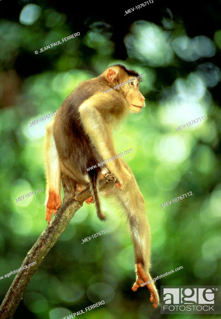 Stock Photo: Pig-Tailed MACAQUE MONKEY - male sitting on branch (Macaca nemestrina nemestrina).