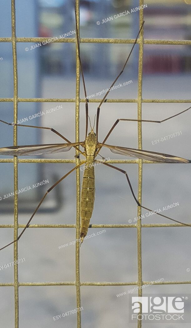Stock Photo: Crane fly, commonly mistaken as dangerous mosquito. Perched on wire fence.