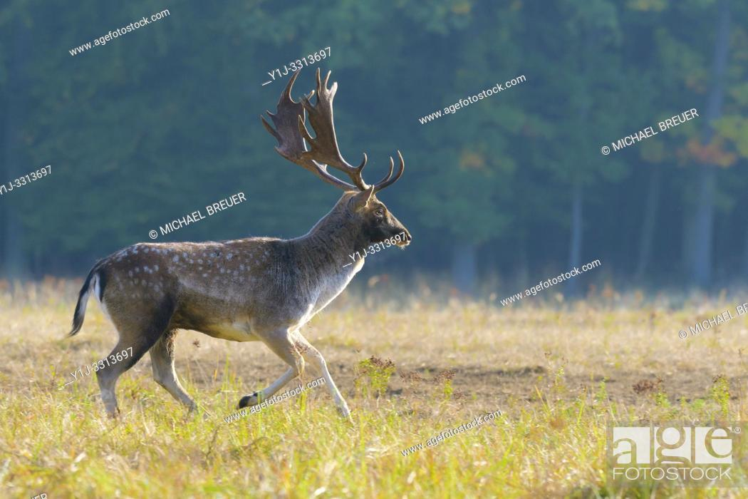 Stock Photo: Running fallow deer in autumn, Denmark, Europe.