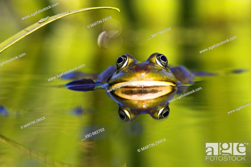 Stock Photo: Edible Frog Rana esculenta or Pelophylax kl  esculentus in the Danube Delta, reflecting in water  Europe, Eastern Europe, Romania, Danube Delta, August 2006.
