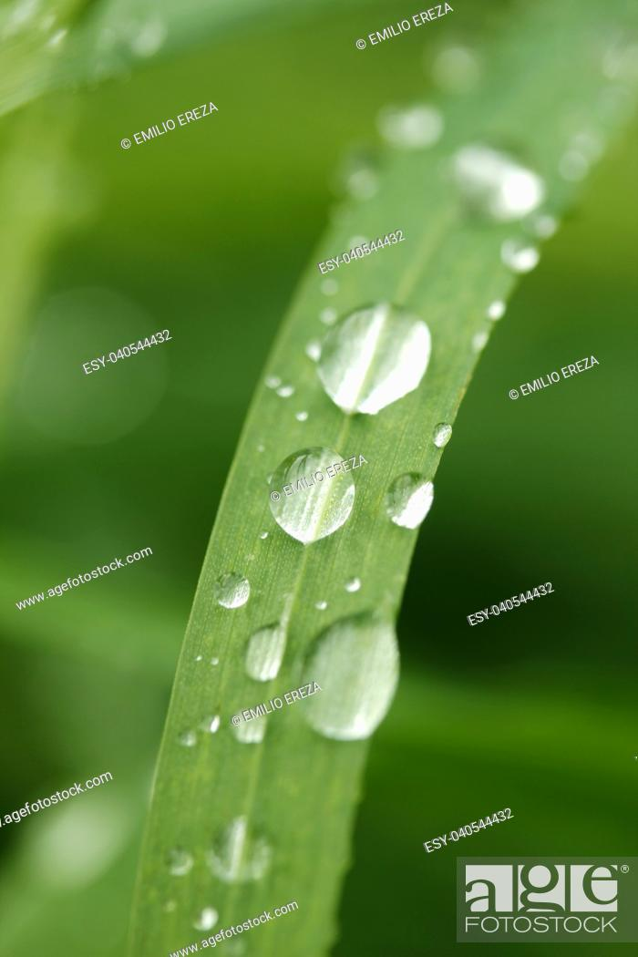 Stock Photo: Droplets on wheat leaf.