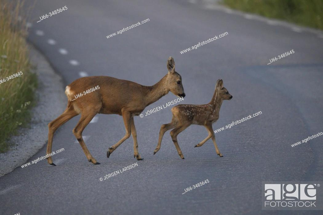 Stock Photo: Roe deer with fawn, Botkyrka, Sodermanland, Sweden.