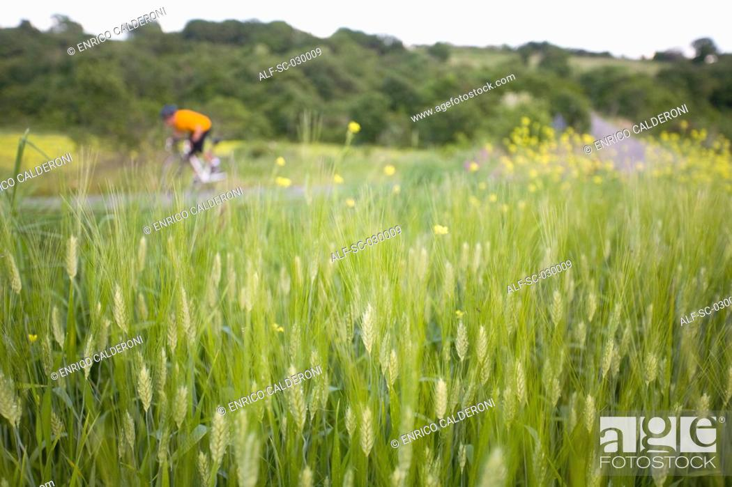 Stock Photo: Cyclist with oat field in foreground.